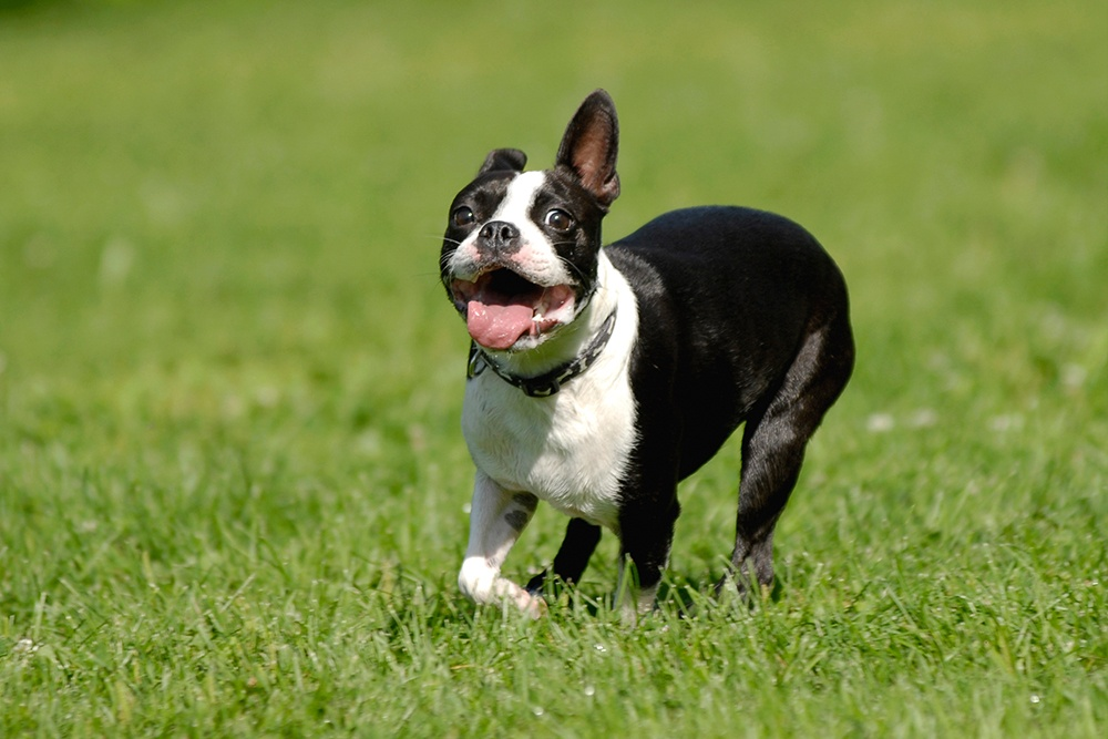 6 Reasons why Boston Terriers are the best